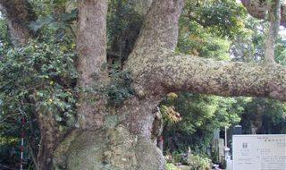 波崎の大タブ(神善寺)