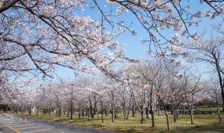 神之池の桜の写真2